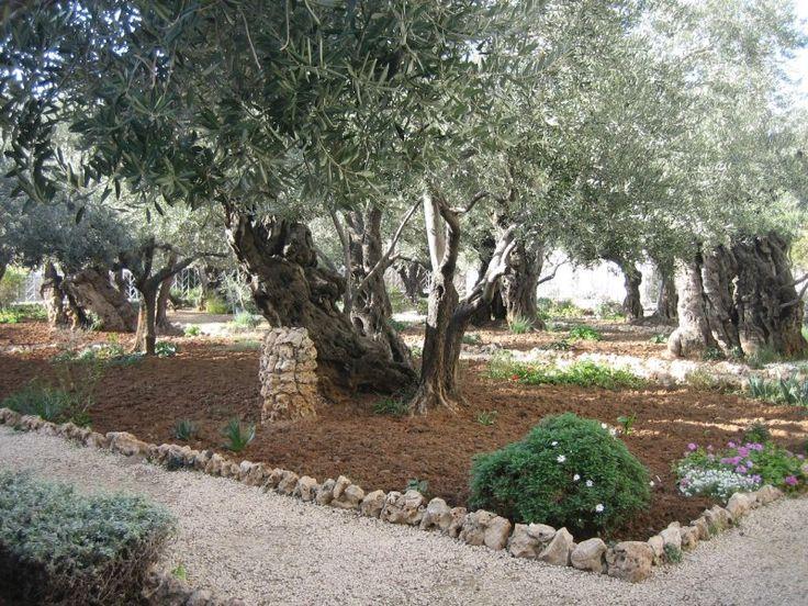 Garden of Gethsemane Olive Grove