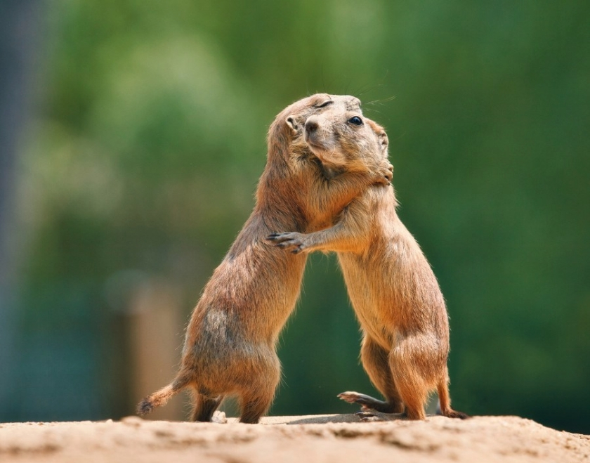 Prairie dog hugs