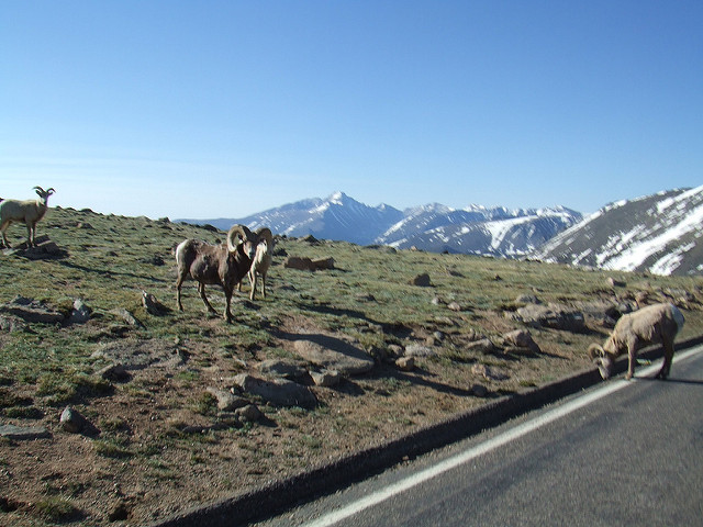 Trail Ridge Road Big horn sheep