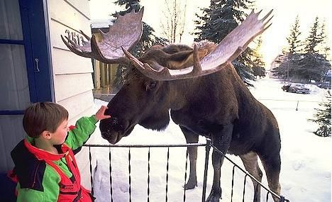 Alaska kid petting moose