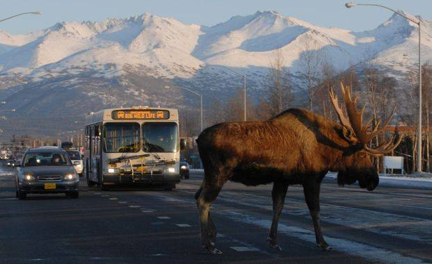 Alaska moose crossing