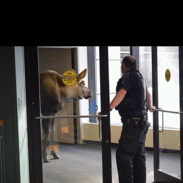 Alaska moose inside