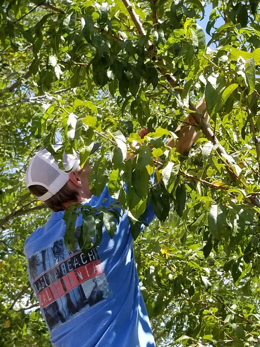 Peach harvest 2019 Ryan
