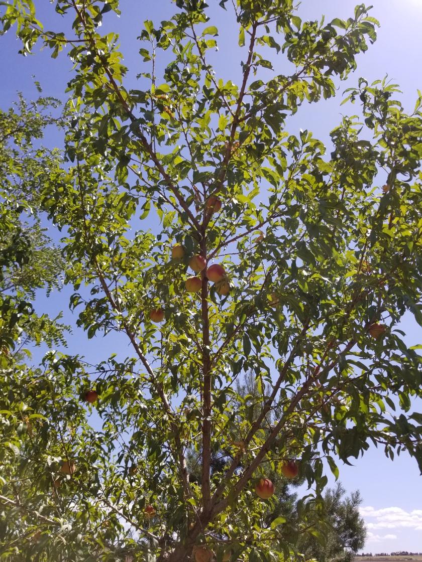 Peach tree 2019